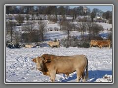 4.12 Cattle at Christmas, through the bedrroom window at La Bagottiere, Normandy