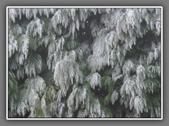 4.9 Frost on fir tree, Normandy